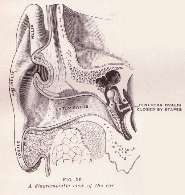 how we hear, hearing loss, anatomy of ear, ear drum