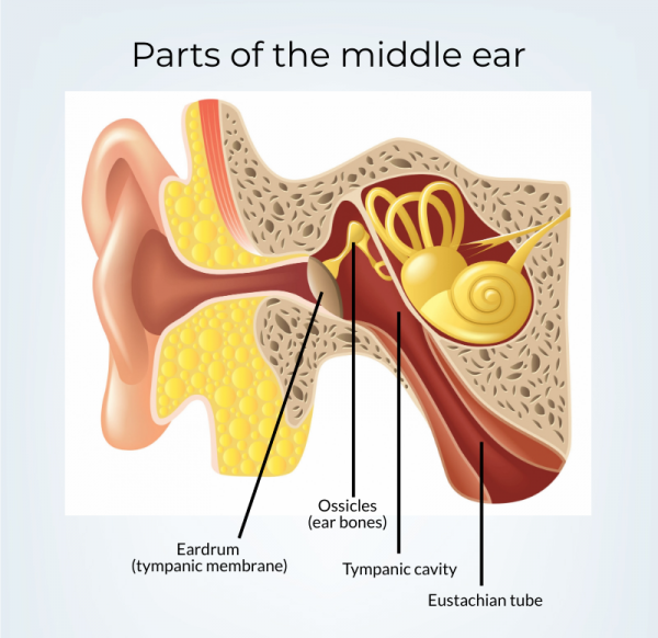Anatomy of the middle ear